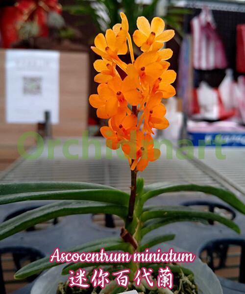 Ascocentrum miniatum