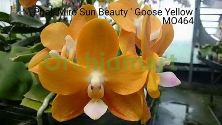 P. Miro Sun Beauty 'Goose Yellow'