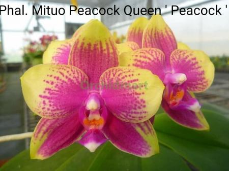 P. Mituo Peacock Queen ''Peacock'', MO485