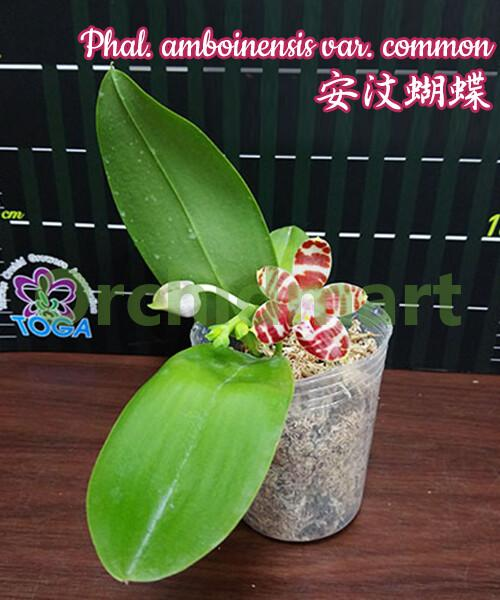 Phal. amboinensis var. common