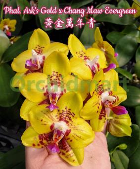 Phal. Ark's Gold x Chang Maw Evergreen