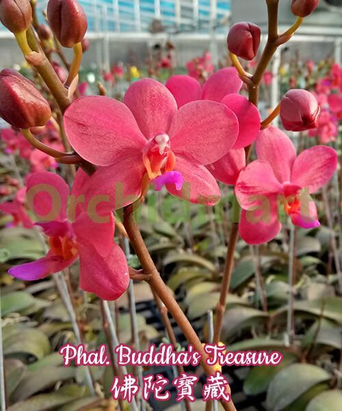 Phal. Buddha's Treasure