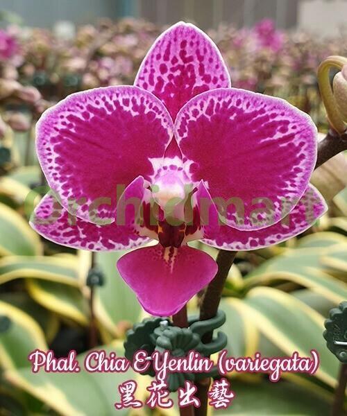 Phal. Chia E Yenlin (variegata)