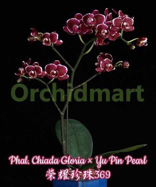 Phal. Chiada Gloria x Yu Pin Pearl
