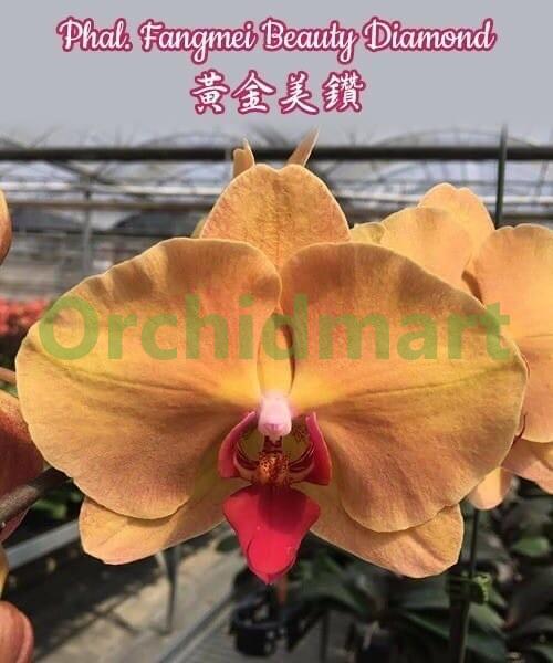 Phal. Fangmei Beauty Diamond