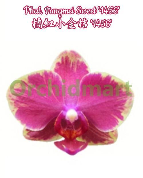 Phal. Fangmei Sweet '1456'