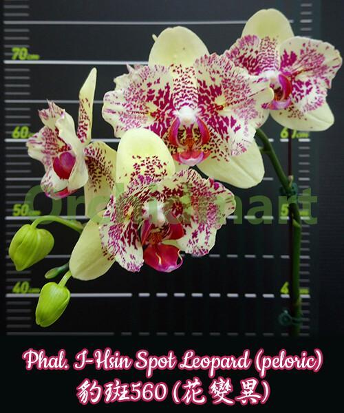 Phal. I-Hsin Spot Leopard (peloric)
