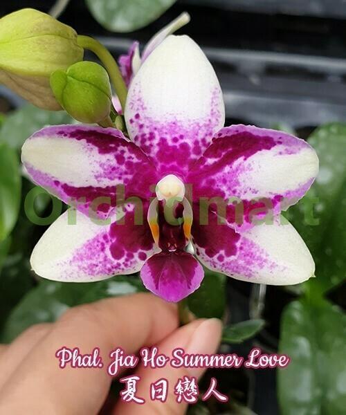 Phal. Jia Ho Summer Love, aroma 4,5 см
