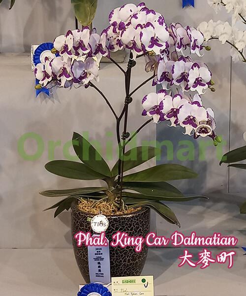Phal. King Car Dalmatian