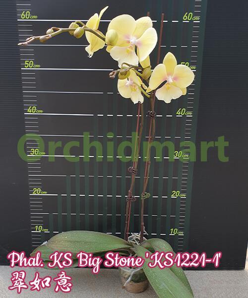 Phal. KS Big Stone 'KS1221-1'