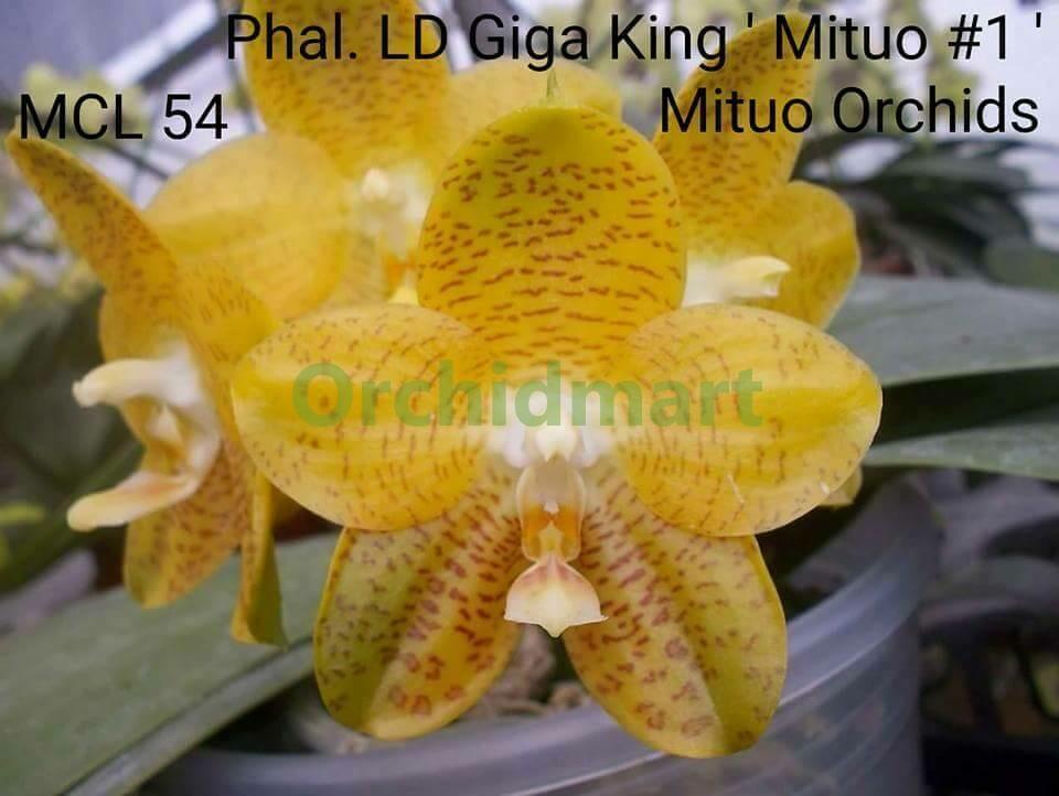 Phal. LD Giga King ' M#1', Stem Propagation