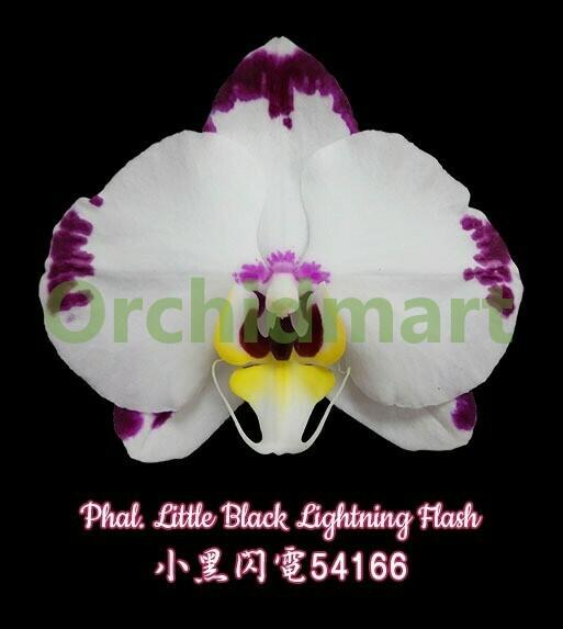 Phal. Little Black Lightning Flash