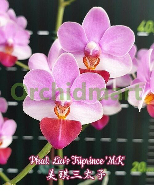 Phal. Liu's Triprince 'MK' light aroma 3 cm
