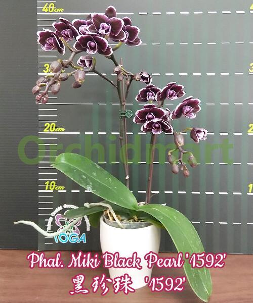 Phal. Miki Black Pearl '1592'