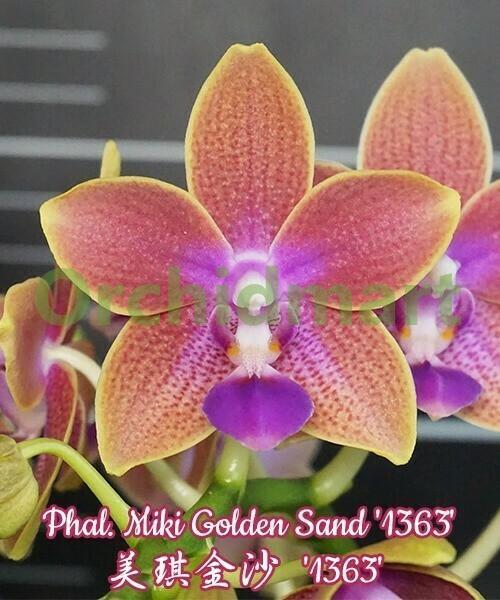 Phal. Miki Golden Sand '1363' aroma, 5 cm
