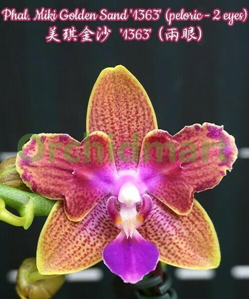 Phal. Miki Golden Sand '1363' (peloric - 2 eyes) aroma, 5cm