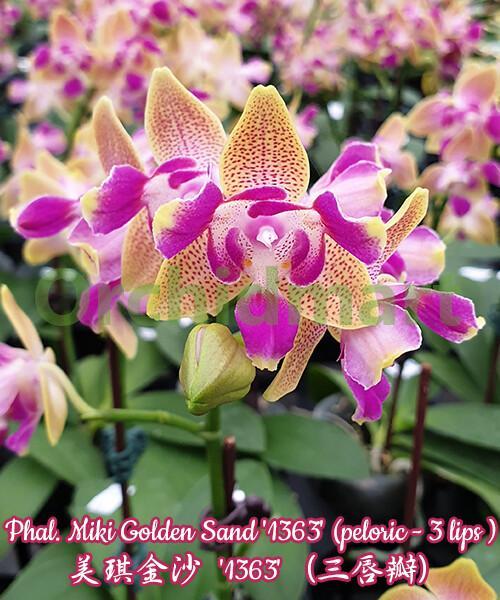 Phal. Miki Golden Sand '1363' (peloric - 3 lips)