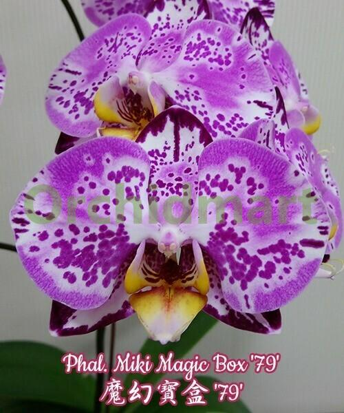 Phal. Miki Magic Box '79' Mericlone (Color instability)