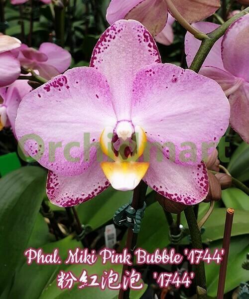 Phal. Miki Pink Bubble '1744'