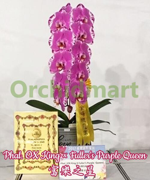 Phal. OX King x Fuller's Purple Queen