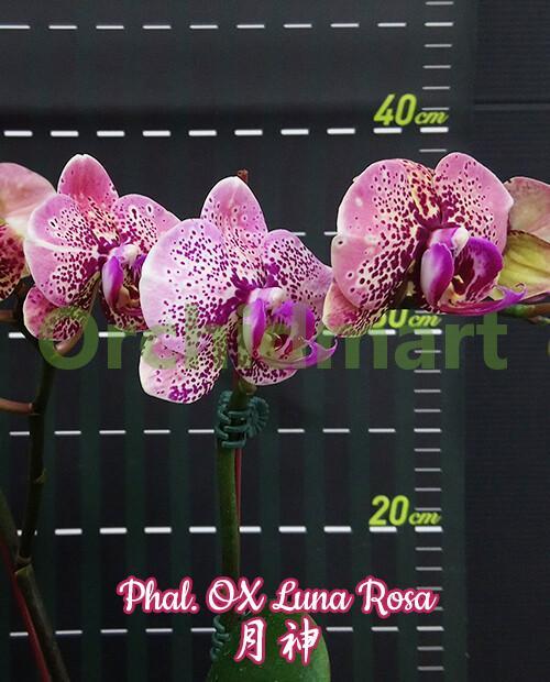 Phal. OX Luna Rosa