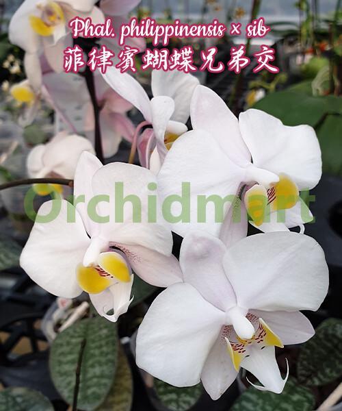 Phal. philippinensis x sib