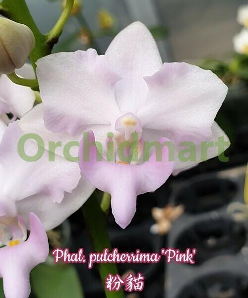 Phal. pulcherrima 'Pink'