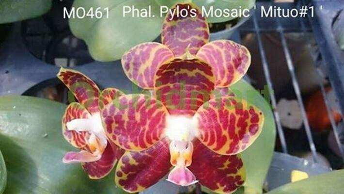 Phal. Pylo's Mosaic 'Mituo #1', Stem Propagation