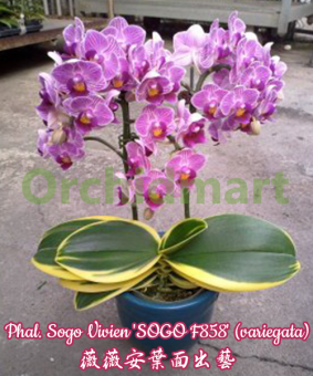 Phal. Sogo Vivien 'SOGO F858' (variegata)