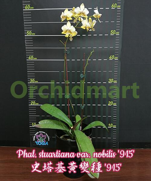 Phal. stuartiana var. nobilis '915'