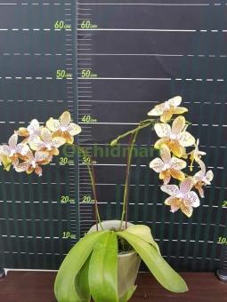 Phal. stuartiana var. nobilis x tetraspis 'Green'