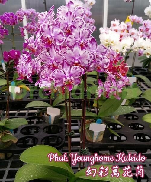 Phal. Younghome Kaleido