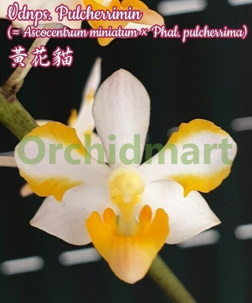 Vdnps. Pulcherrimin (= Ascocentrum miniatum x Phal. pulcherrima )