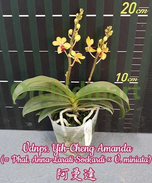 Vdnps. Yih-Cheng Amanda (=Phal. Anna-Larati Soekardi x V. miniata)