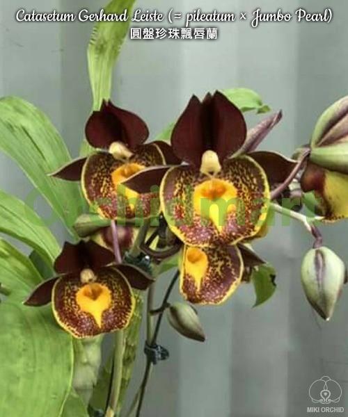 Catasetum Gerhard Leiste (= pileatum × Jumbo Pearl)