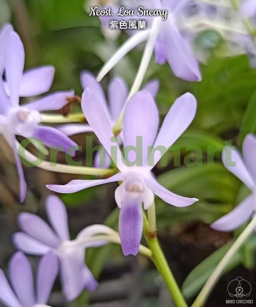 Neost. Lou Sneary (= Neof. falcata × Rhy. coelestis var. coerulea)