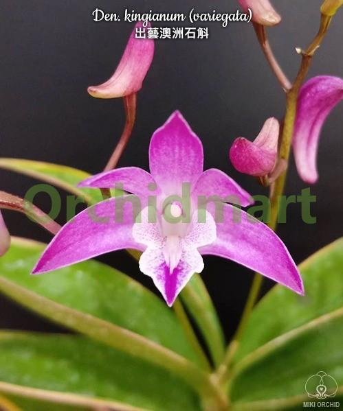 Den. kingianum (variegata)