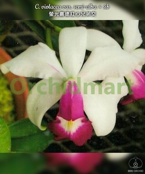 C. violacea var. semi-alba × sib