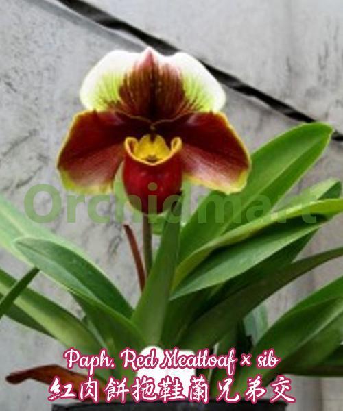 Paph. Red Meatloaf × sib