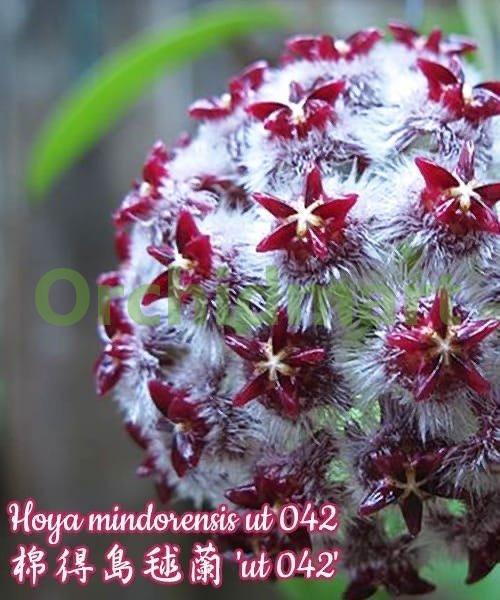 Hoya mindorensis 'ut 042'
