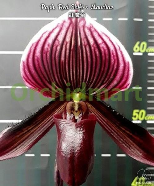 Paph. Red Shift × Maudiae