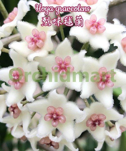 Hoya graveolens