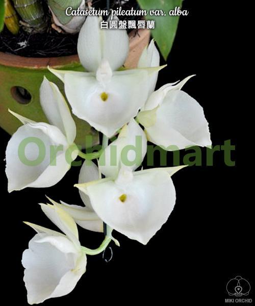 Catasetum pileatum var. alba