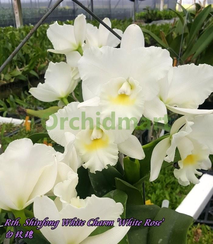 Rth. Shinfong White Charm 'White Rose'